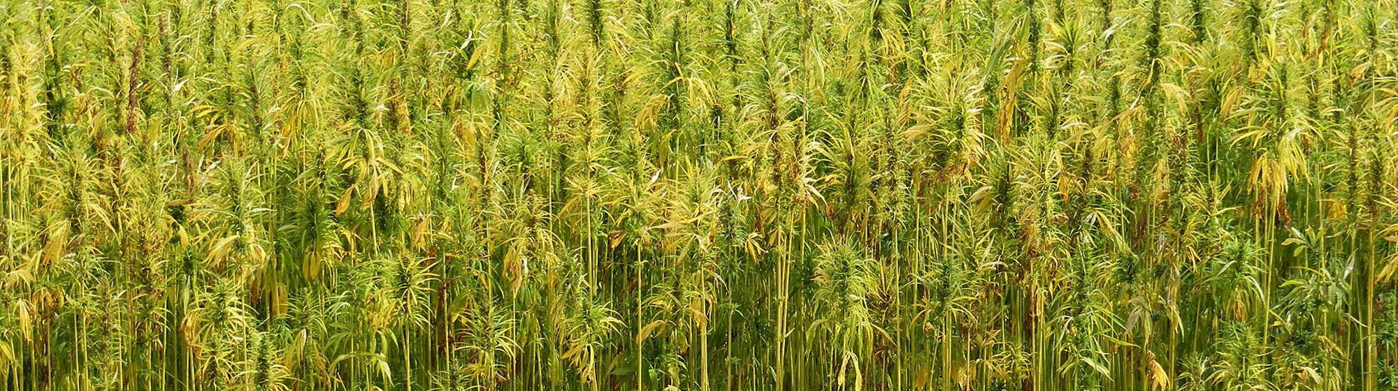 Hemp Crop in England