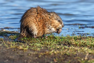 A muskrat eating next to a water source.