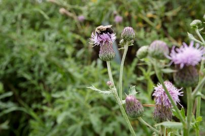 Canada Thistle flower with bumble bee