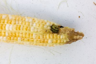 ear of corn with a green worm eating the kernels