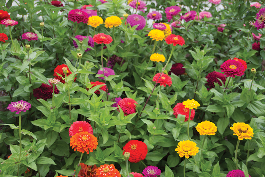 red, orange, yellow and dark pink zinnias