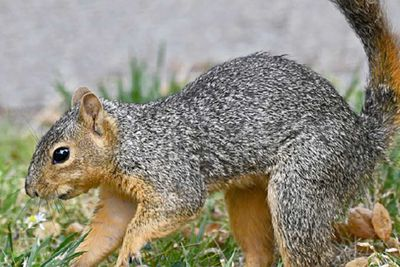 Eastern fox squirrel on a lawn.