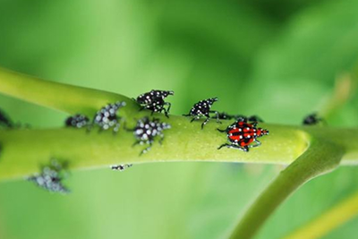 spotted lanternfly nymphs on a green branch