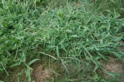 Crabgrass in a lawn