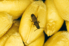 pantry pests sawtooth grain beetle