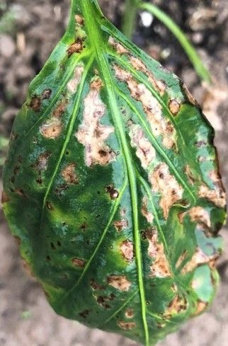 Bacterial leaf spot on pepper.