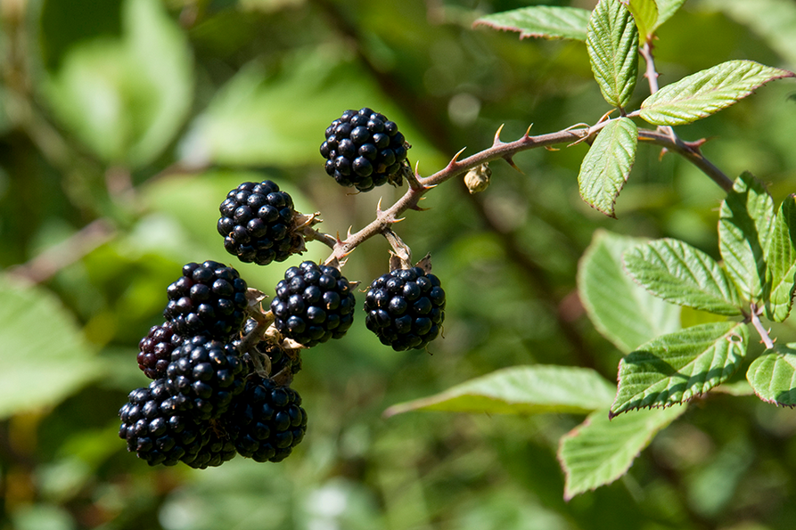 a bunch of blackberries hanging from the thorny stem
