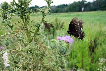 Bull Thistle in a field with a black butterfly