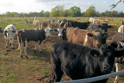Feeder Cattle ready for sale