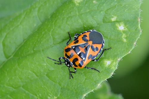 Harlequin Bugs Extension Service West Virginia University