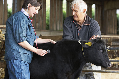 female vet checks a black cow while male farmer stands by