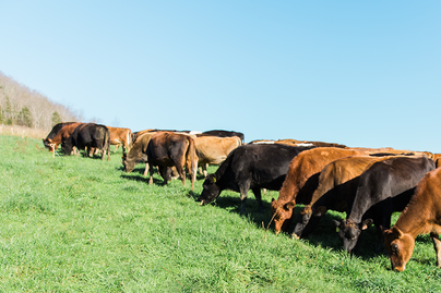 various black and brown cattle in pasture on hillside in sun