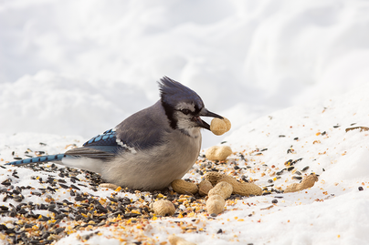 bluejay eating peanuts on the snow