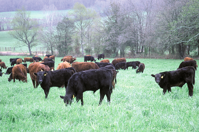 various black and brown cattle in pasture