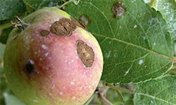 fruit tree disease