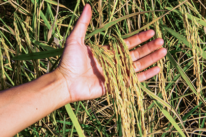 pasture grass in male hand close up