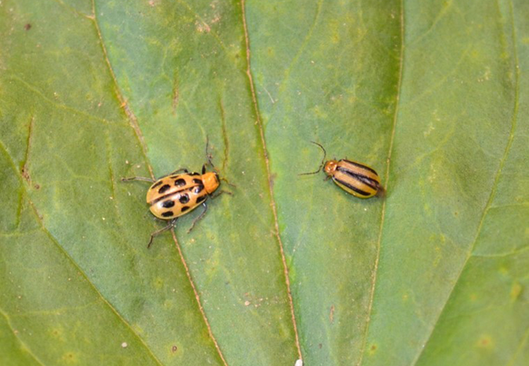 Adult spotted and striped cucumber beetles on a leaf.