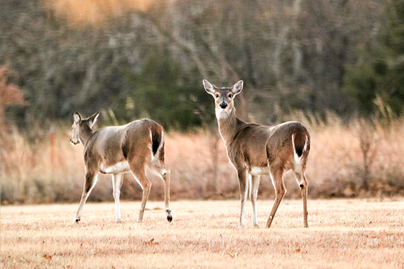 two female white-tailed deer, one runs away