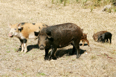 male and femal feral swine with young in a late winter grassy area