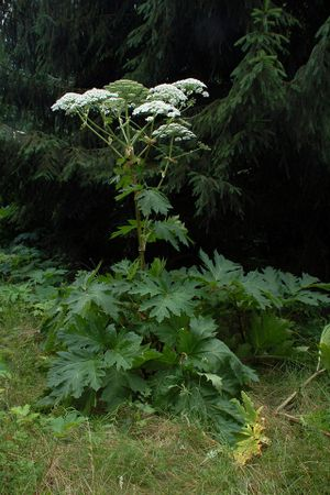 "Giant Hogweed by Fritz Geller Grimm (https://commons.wikimedia.org/wiki/File:Herkulesstaude_fg01.jpg), ""Herkulesstaude fg01"", https://creativecommons.org/licenses/by-sa/3.0/legalcode"