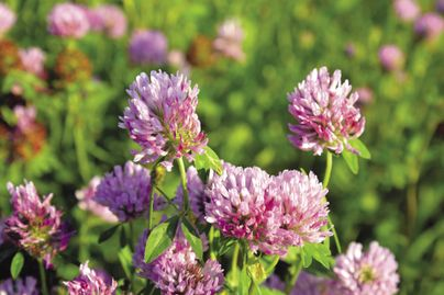 purple clover flowers close up