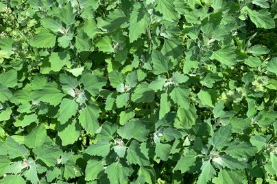 A classic example of how common lambsquarters looks.