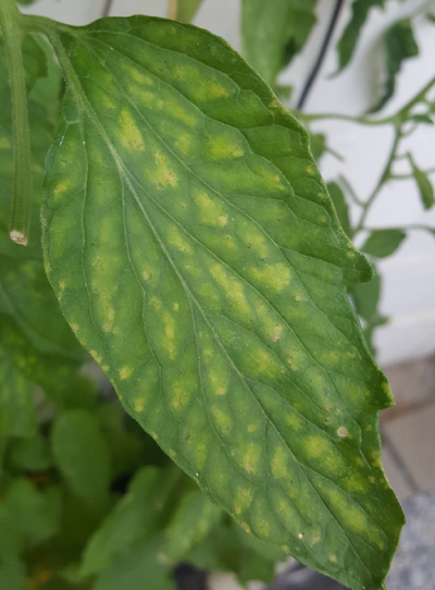 Manganese deficiency evident in a leaf.