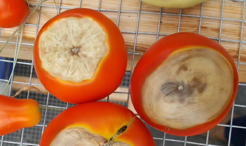 Blossom end rot on tomatoes.