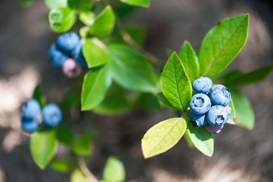 A closeup image of a blueberry plant with ripe berries.