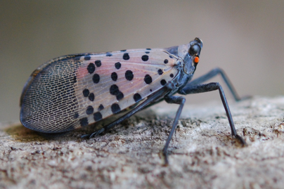 adult spotted lanternfly on bark