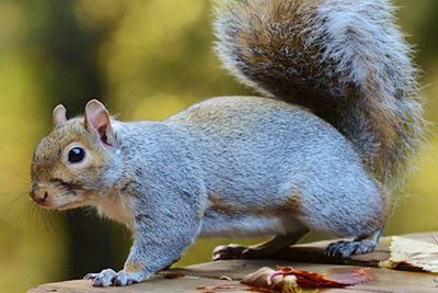 Eastern gray squirrel on a table.