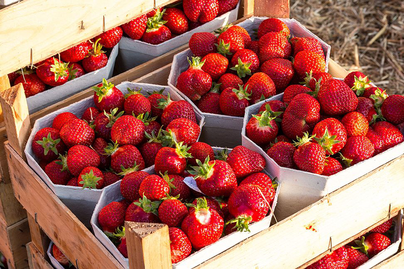 strawberries in creates ready to sell