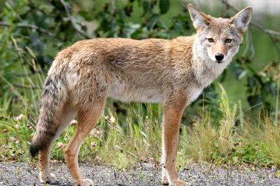 coyote as pests (Photo credit: https://www.flickr.com/photos/ drphotomoto/10669948324)
