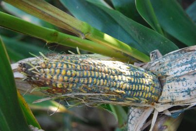 Photo of moldy ear of corn on stalk
