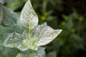 powdery mildew on lilac leaves