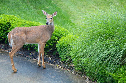 female white-tail deer in a lawn area about to eat shurbs