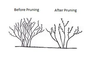 An example of blueberry bush pruning before and after pruning.