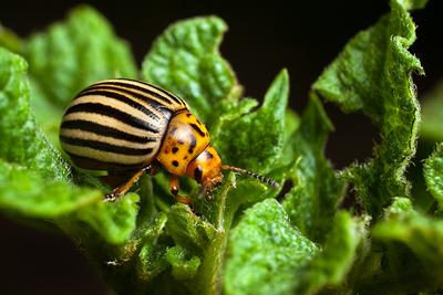 Colorado Potato Beetles Extension Service West Virginia University