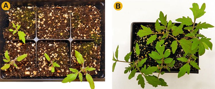 Difference in tomato seedling vigor