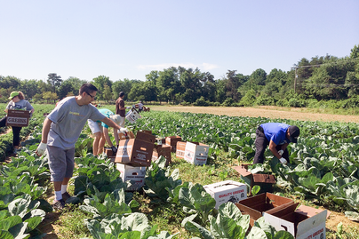 laborers harvesting leafy greens from field