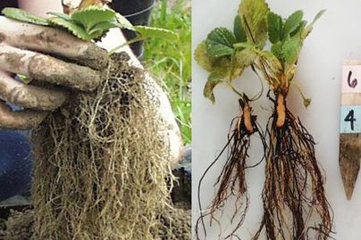 roots of strawberry plants showing black root rot complex