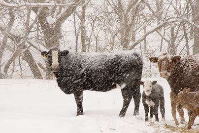 snow covered cattle in field.