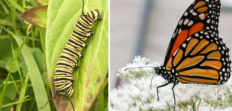 photo of the Monarch butterfly larva (catepillar) with yellow and black stripes and a photo of theorange and black monarh butterfly