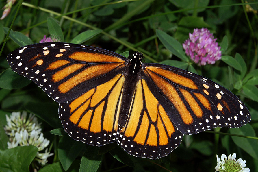 monarch butterfly hanging from a purple butterfly bush flower