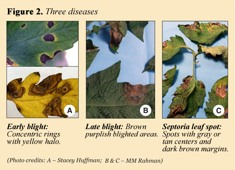Early Blight of Tomatoes | Extension Service | West Virginia