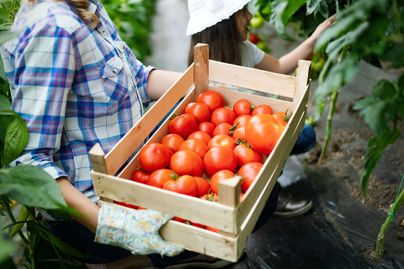A woman wearing gloves holds a box of tomatoes while a child in the background picks a fresh tomato.