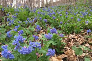 many purple flowers in the woods