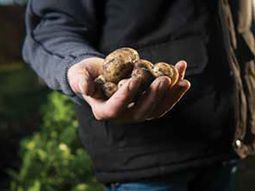 image of a handful of potatoes