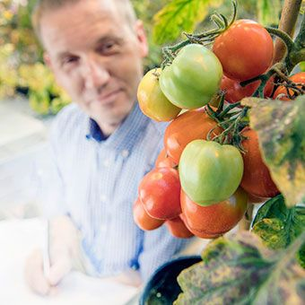 Professor looking at tomato plants