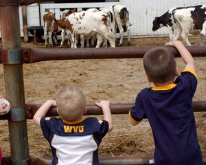 kid with WVU t-shirt on watching the cows